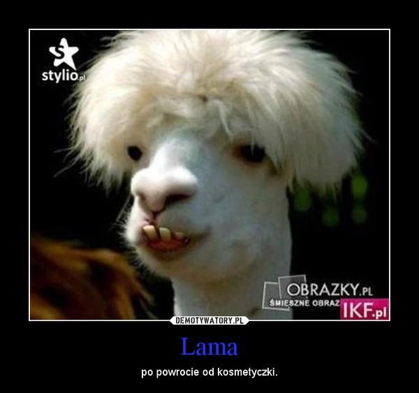 Lama – po powrocie od kosmetyczki.