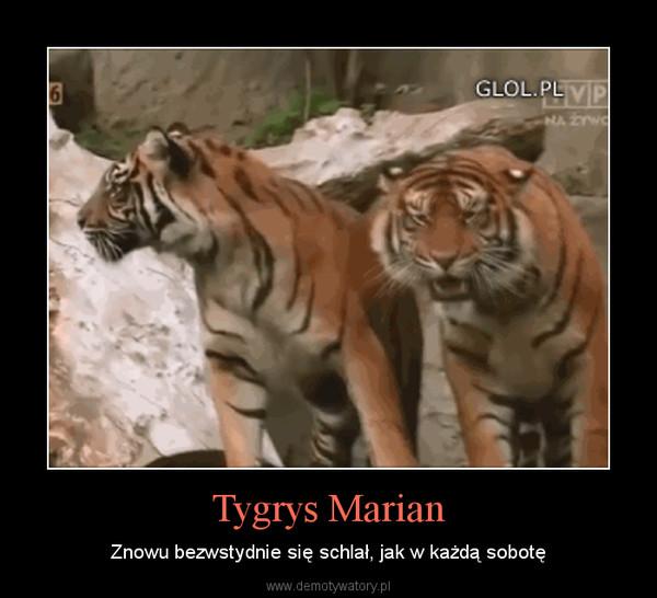 Tygrys Marian – Znowu bezwstydnie się schlał, jak w każdą sobotę