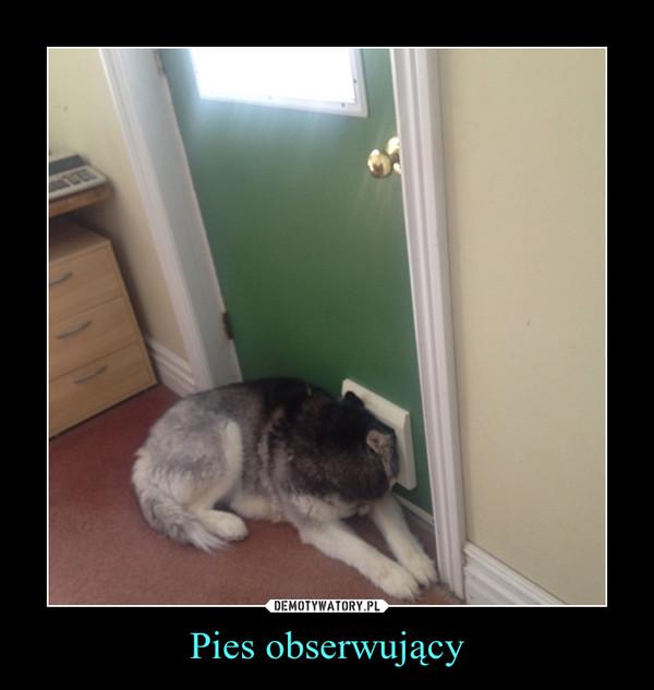 Pies obserwujący –