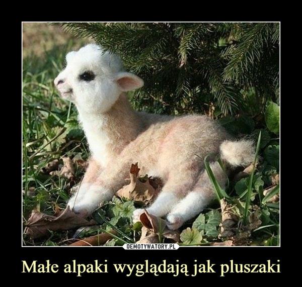 Małe alpaki wyglądają jak pluszaki –
