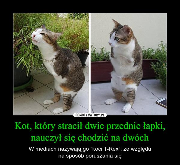 """Kot, który stracił dwie przednie łapki, nauczył się chodzić na dwóch – W mediach nazywają go """"koci T-Rex"""", ze względuna sposób poruszania się"""