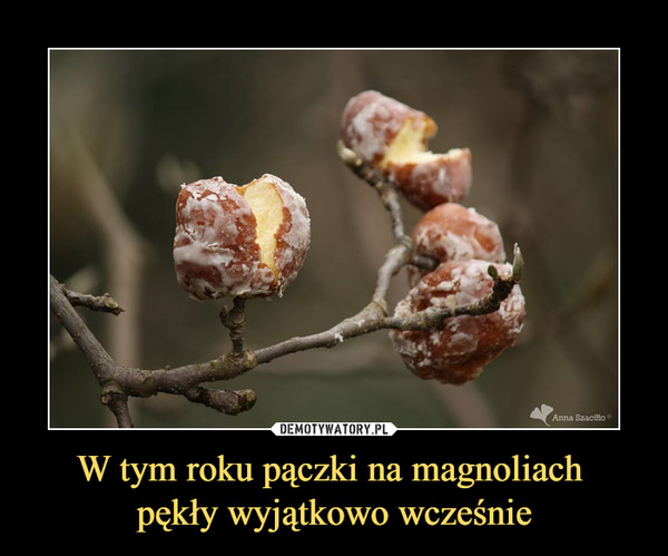 W tym roku pączki na magnoliach pękły wyjątkowo wcześnie –