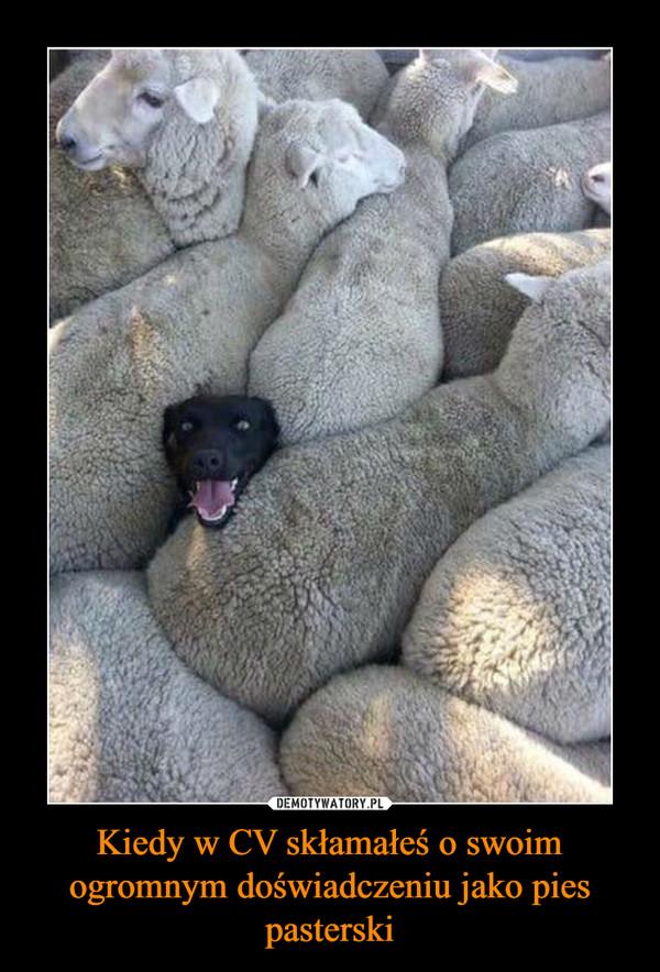 Kiedy w CV skłamałeś o swoim ogromnym doświadczeniu jako pies pasterski –