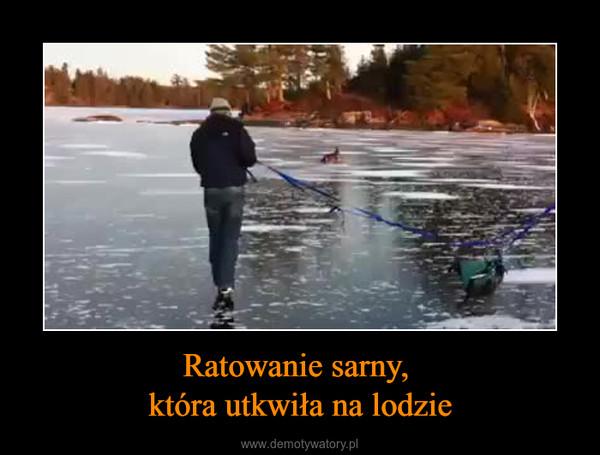 Ratowanie sarny, która utkwiła na lodzie –