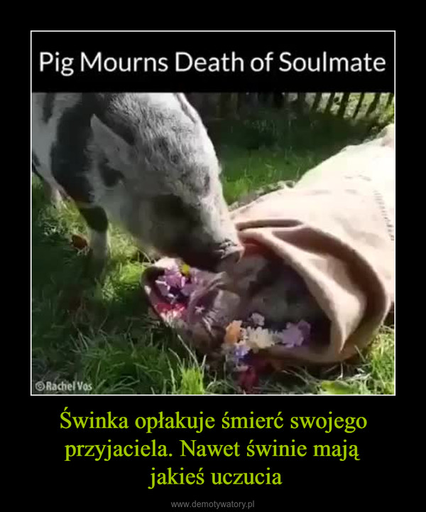 Świnka opłakuje śmierć swojego przyjaciela. Nawet świnie mają jakieś uczucia –