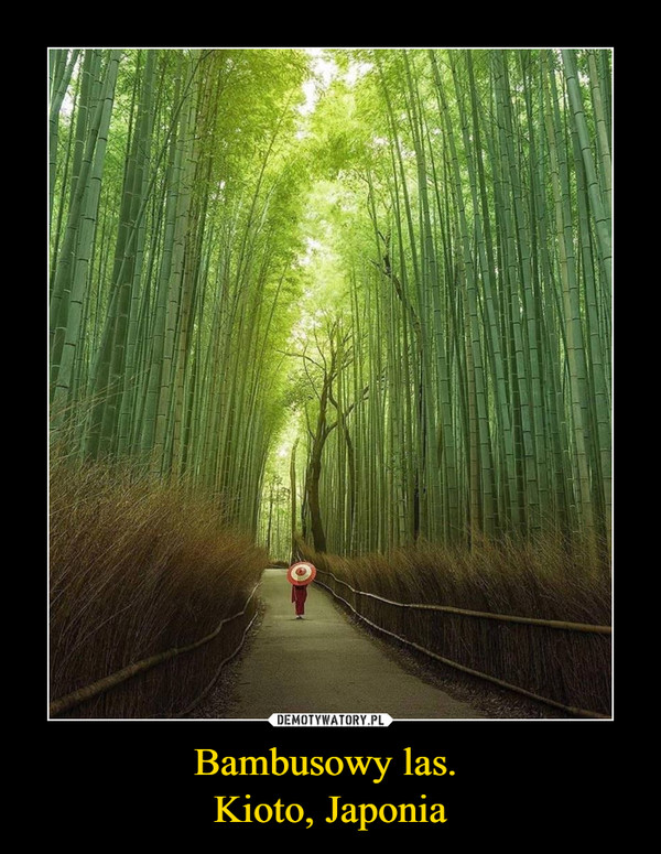 Bambusowy las. Kioto, Japonia –