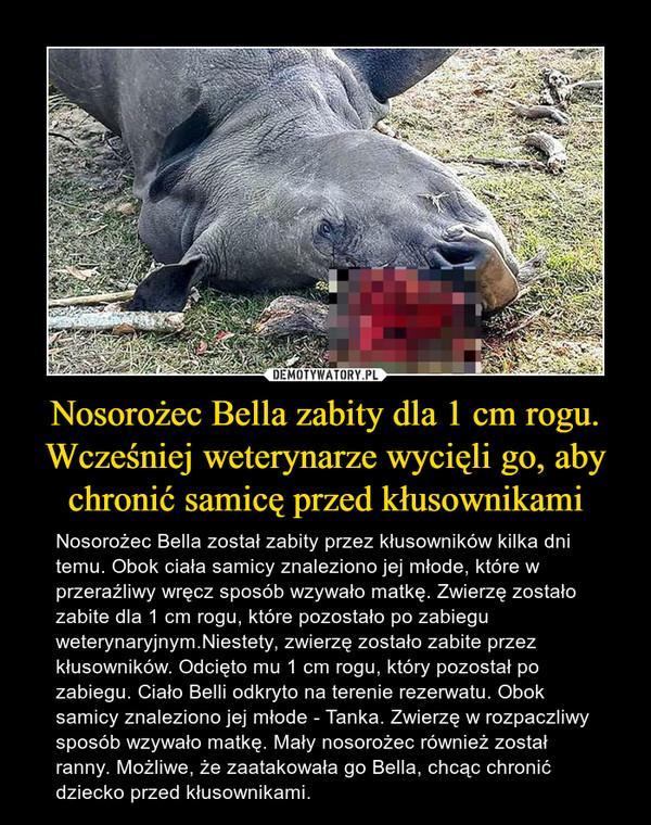 Nosorożec Bella zabity dla 1 cm rogu. Wcześniej weterynarze wycięli go, aby chronić samicę przed kłusownikami – Nosorożec Bella został zabity przez kłusowników kilka dni temu. Obok ciała samicy znaleziono jej młode, które w przeraźliwy wręcz sposób wzywało matkę. Zwierzę zostało zabite dla 1 cm rogu, które pozostało po zabiegu weterynaryjnym.Niestety, zwierzę zostało zabite przez kłusowników. Odcięto mu 1 cm rogu, który pozostał po zabiegu. Ciało Belli odkryto na terenie rezerwatu. Obok samicy znaleziono jej młode - Tanka. Zwierzę w rozpaczliwy sposób wzywało matkę. Mały nosorożec również został ranny. Możliwe, że zaatakowała go Bella, chcąc chronić dziecko przed kłusownikami.