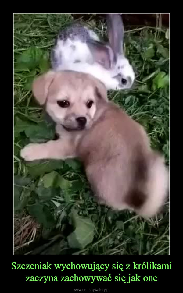 Szczeniak wychowujący się z królikami zaczyna zachowywać się jak one –