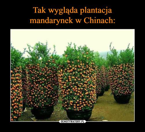 Tak wygląda plantacja mandarynek w Chinach: