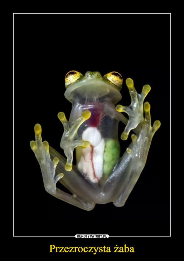 Przezroczysta żaba –