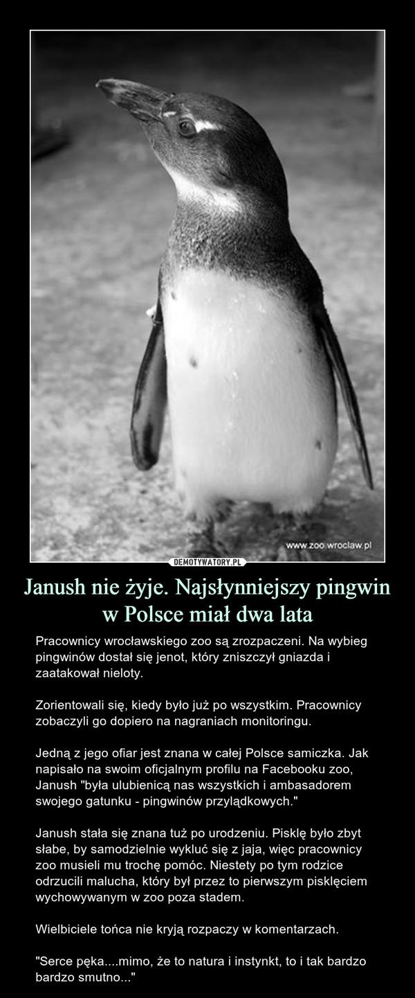 """Janush nie żyje. Najsłynniejszy pingwin w Polsce miał dwa lata – Pracownicy wrocławskiego zoo są zrozpaczeni. Na wybieg pingwinów dostał się jenot, który zniszczył gniazda i zaatakował nieloty.Zorientowali się, kiedy było już po wszystkim. Pracownicy zobaczyli go dopiero na nagraniach monitoringu.Jedną z jego ofiar jest znana w całej Polsce samiczka. Jak napisało na swoim oficjalnym profilu na Facebooku zoo, Janush """"była ulubienicą nas wszystkich i ambasadorem swojego gatunku - pingwinów przylądkowych.""""Janush stała się znana tuż po urodzeniu. Pisklę było zbyt słabe, by samodzielnie wykluć się z jaja, więc pracownicy zoo musieli mu trochę pomóc. Niestety po tym rodzice odrzucili malucha, który był przez to pierwszym pisklęciem wychowywanym w zoo poza stadem.Wielbiciele tońca nie kryją rozpaczy w komentarzach.""""Serce pęka....mimo, że to natura i instynkt, to i tak bardzo bardzo smutno..."""""""
