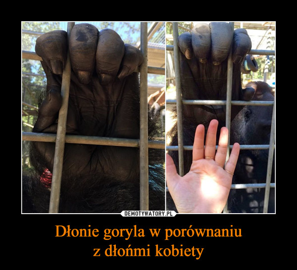 Dłonie goryla w porównaniuz dłońmi kobiety –