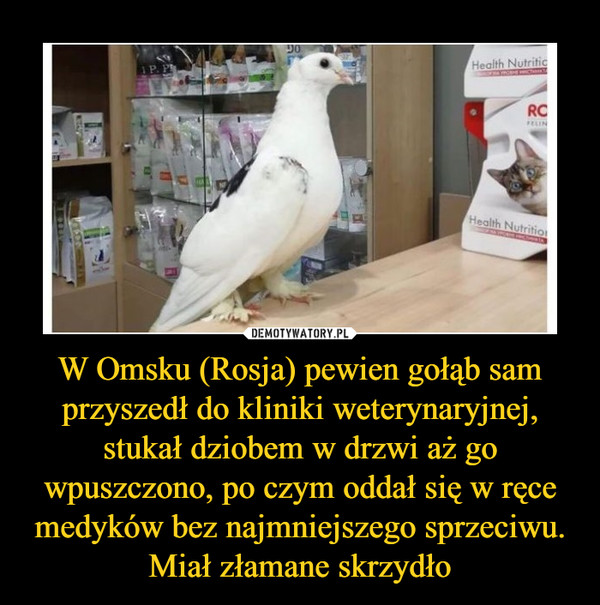 268da8afbd713 W Omsku (Rosja) pewien gołąb sam przyszedł do kliniki weterynaryjnej