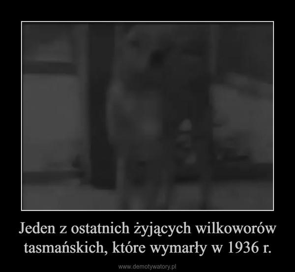 Jeden z ostatnich żyjących wilkoworów tasmańskich, które wymarły w 1936 r. –