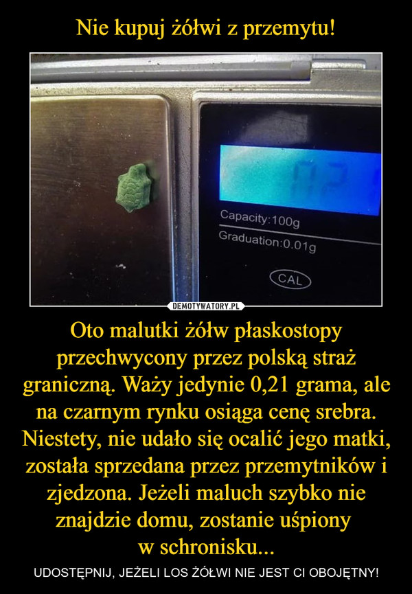 Oto malutki żółw płaskostopy przechwycony przez polską straż graniczną. Waży jedynie 0,21 grama, ale na czarnym rynku osiąga cenę srebra. Niestety, nie udało się ocalić jego matki, została sprzedana przez przemytników i zjedzona. Jeżeli maluch szybko nie znajdzie domu, zostanie uśpiony w schronisku... – UDOSTĘPNIJ, JEŻELI LOS ŻÓŁWI NIE JEST CI OBOJĘTNY!