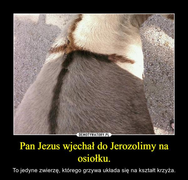 Pan Jezus wjechał do Jerozolimy na osiołku. – To jedyne zwierzę, którego grzywa układa się na kształt krzyża.