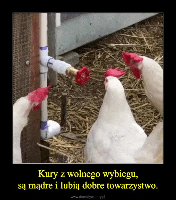 Kury z wolnego wybiegu,są mądre i lubią dobre towarzystwo. –