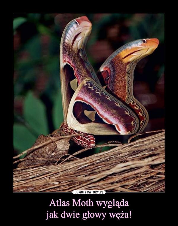 Atlas Moth wyglądajak dwie głowy węża! –