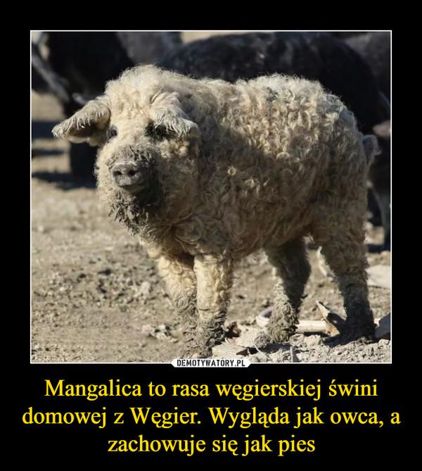 Mangalica to rasa węgierskiej świni domowej z Węgier. Wygląda jak owca, a zachowuje się jak pies –