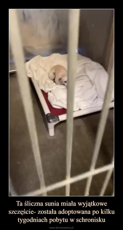 Ta śliczna sunia miała wyjątkowe szczęście- została adoptowana po kilku tygodniach pobytu w schronisku –