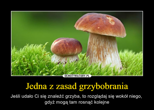 Jedna z zasad grzybobrania – Jeśli udało Ci się znaleźć grzyba, to rozglądaj się wokół niego, gdyż mogą tam rosnąć kolejne