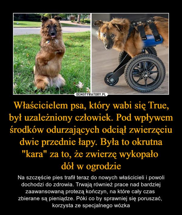 """Właścicielem psa, który wabi się True, był uzależniony człowiek. Pod wpływem środków odurzających odciął zwierzęciu dwie przednie łapy. Była to okrutna """"kara"""" za to, że zwierzę wykopało dół w ogrodzie – Na szczęście pies trafił teraz do nowych właścicieli i powoli dochodzi do zdrowia. Trwają również prace nad bardziej zaawansowaną protezą kończyn, na które cały czas zbierane są pieniądze. Póki co by sprawniej się poruszać, korzysta ze specjalnego wózka"""