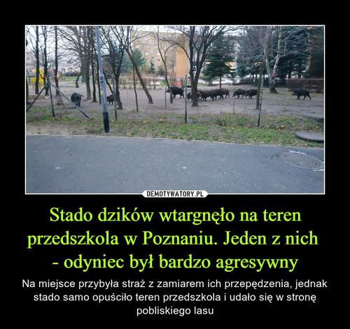 Stado dzików wtargnęło na teren przedszkola w Poznaniu. Jeden z nich  - odyniec był bardzo agresywny