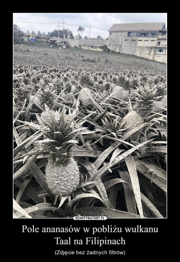 Pole ananasów w pobliżu wulkanuTaal na Filipinach – (Zdjęcie bez żadnych filtrów)