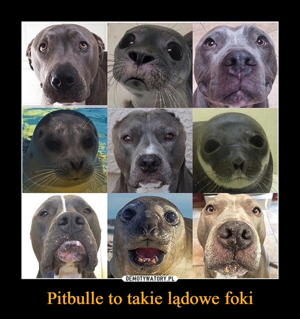 Pitbulle to takie lądowe foki –