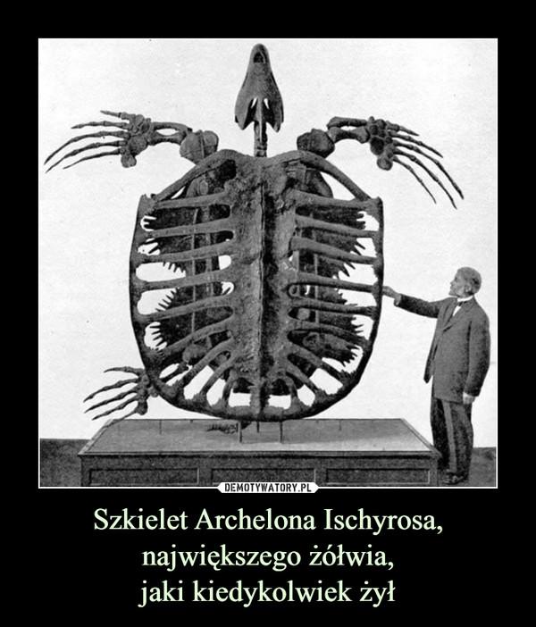 Szkielet Archelona Ischyrosa, największego żółwia,jaki kiedykolwiek żył –