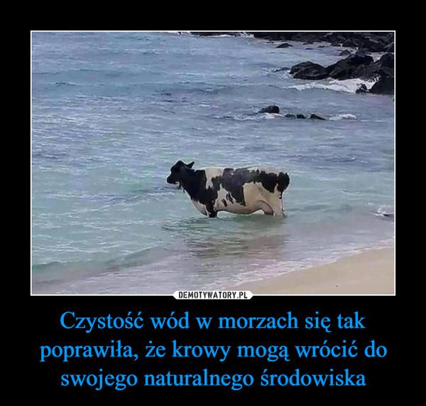 Czystość wód w morzach się tak poprawiła, że krowy mogą wrócić do swojego naturalnego środowiska –
