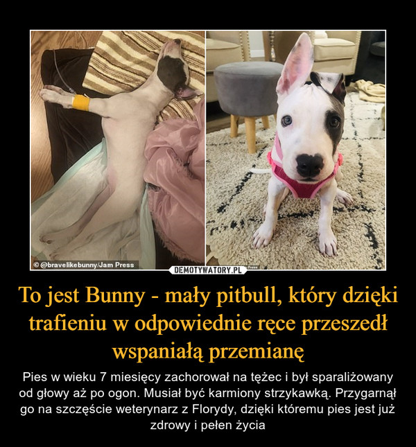 To jest Bunny - mały pitbull, który dzięki trafieniu w odpowiednie ręce przeszedł wspaniałą przemianę – Pies w wieku 7 miesięcy zachorował na tężec i był sparaliżowany od głowy aż po ogon. Musiał być karmiony strzykawką. Przygarnął go na szczęście weterynarz z Florydy, dzięki któremu pies jest już zdrowy i pełen życia