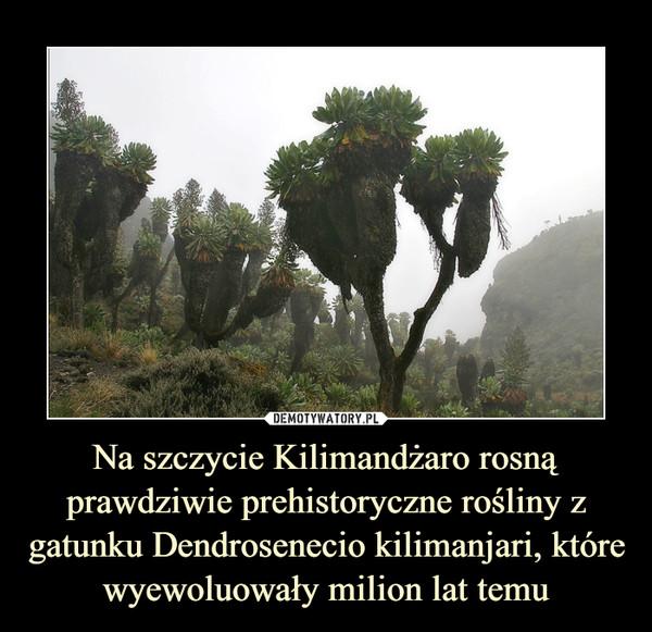 Na szczycie Kilimandżaro rosną prawdziwie prehistoryczne rośliny z gatunku Dendrosenecio kilimanjari, które wyewoluowały milion lat temu –