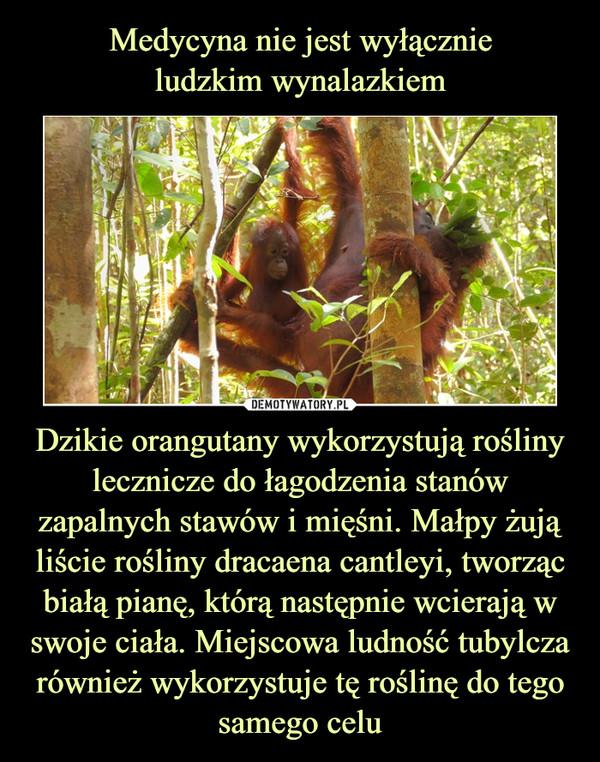Dzikie orangutany wykorzystują rośliny lecznicze do łagodzenia stanów zapalnych stawów i mięśni. Małpy żują liście rośliny dracaena cantleyi, tworząc białą pianę, którą następnie wcierają w swoje ciała. Miejscowa ludność tubylcza również wykorzystuje tę roślinę do tego samego celu –