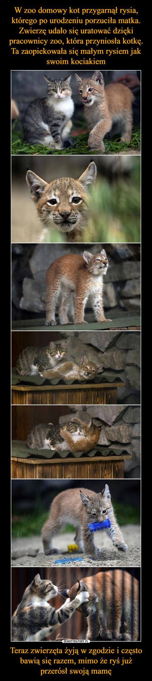 W zoo domowy kot przygarnął rysia, którego po urodzeniu porzuciła matka. Zwierzę udało się uratować dzięki pracownicy zoo, która przyniosła kotkę. Ta zaopiekowała się małym rysiem jak swoim kociakiem Teraz zwierzęta żyją w zgodzie i często bawią się razem, mimo że ryś już przerósł swoją mamę
