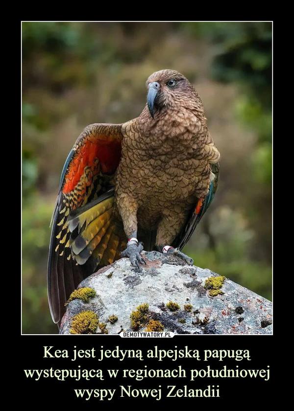 Kea jest jedyną alpejską papugą występującą w regionach południowej wyspy Nowej Zelandii –