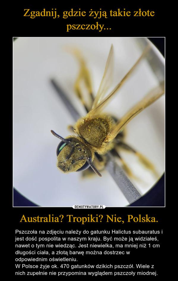 Australia? Tropiki? Nie, Polska. – Pszczoła na zdjęciu należy do gatunku Halictus subauratus i jest dość pospolita w naszym kraju. Być może ją widziałeś, nawet o tym nie wiedząc. Jest niewielka, ma mniej niż 1 cm długości ciała, a złotą barwę można dostrzec w odpowiednim oświetleniu. W Polsce żyje ok. 470 gatunków dzikich pszczół. Wiele z nich zupełnie nie przypomina wyglądem pszczoły miodnej.