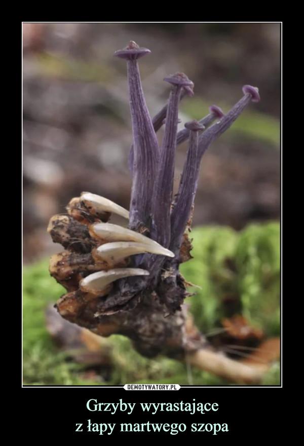 Grzyby wyrastającez łapy martwego szopa –