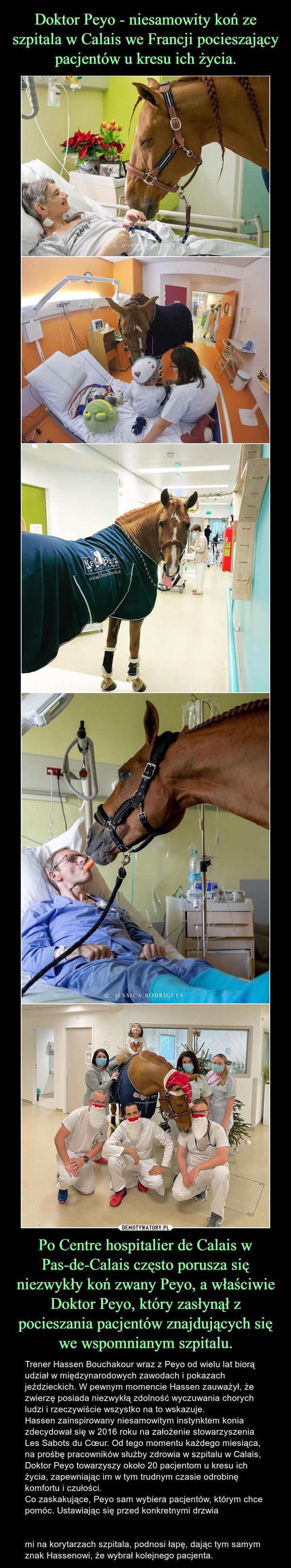 Po Centre hospitalier de Calais w Pas-de-Calais często porusza się niezwykły koń zwany Peyo, a właściwie Doktor Peyo, który zasłynął z pocieszania pacjentów znajdujących się we wspomnianym szpitalu. – Trener Hassen Bouchakour wraz z Peyo od wielu lat biorą udział w międzynarodowych zawodach i pokazach jeździeckich. W pewnym momencie Hassen zauważył, że zwierzę posiada niezwykłą zdolność wyczuwania chorych ludzi i rzeczywiście wszystko na to wskazuje.Hassen zainspirowany niesamowitym instynktem konia zdecydował się w 2016 roku na założenie stowarzyszenia Les Sabots du Cœur. Od tego momentu każdego miesiąca, na prośbę pracowników służby zdrowia w szpitalu w Calais, Doktor Peyo towarzyszy około 20 pacjentom u kresu ich życia, zapewniając im w tym trudnym czasie odrobinę komfortu i czułości.Co zaskakujące, Peyo sam wybiera pacjentów, którym chce pomóc. Ustawiając się przed konkretnymi drzwiami na korytarzach szpitala, podnosi łapę, dając tym samym znak Hassenowi, że wybrał kolejnego pacjenta.