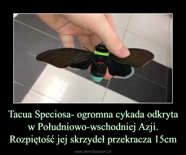 Tacua Speciosa- ogromna cykada odkryta w Południowo-wschodniej Azji. Rozpiętość jej skrzydeł przekracza 15cm –