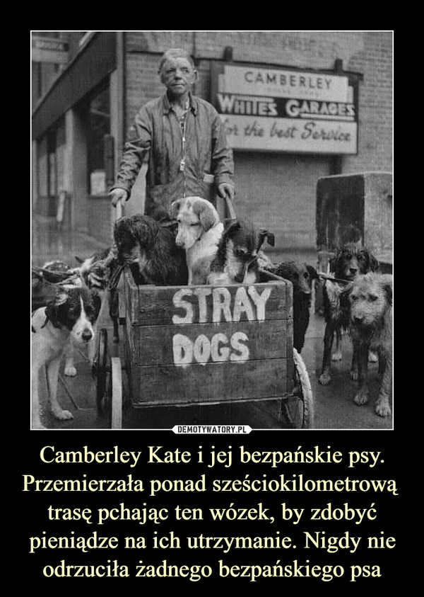 Camberley Kate i jej bezpańskie psy. Przemierzała ponad sześciokilometrową  trasę pchając ten wózek, by zdobyć pieniądze na ich utrzymanie. Nigdy nie odrzuciła żadnego bezpańskiego psa –