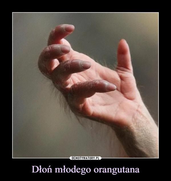 Dłoń młodego orangutana –