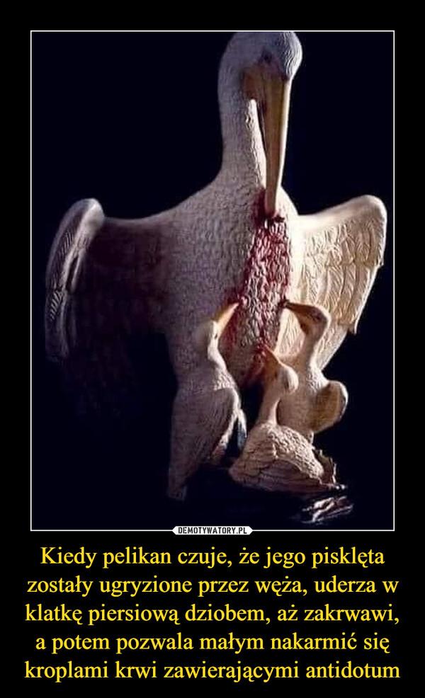 Kiedy pelikan czuje, że jego pisklęta zostały ugryzione przez węża, uderza w klatkę piersiową dziobem, aż zakrwawi, a potem pozwala małym nakarmić się kroplami krwi zawierającymi antidotum –